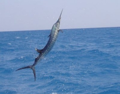 sailfish-1